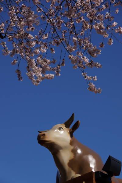 000  cow sakura.JPG