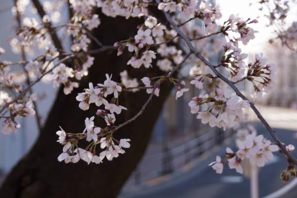 001  sakura.JPG