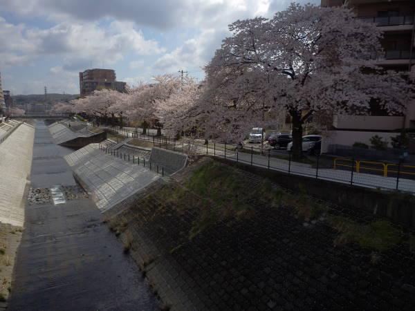003 sakura.JPG