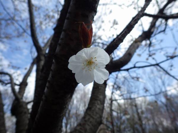 004 sakura.JPG