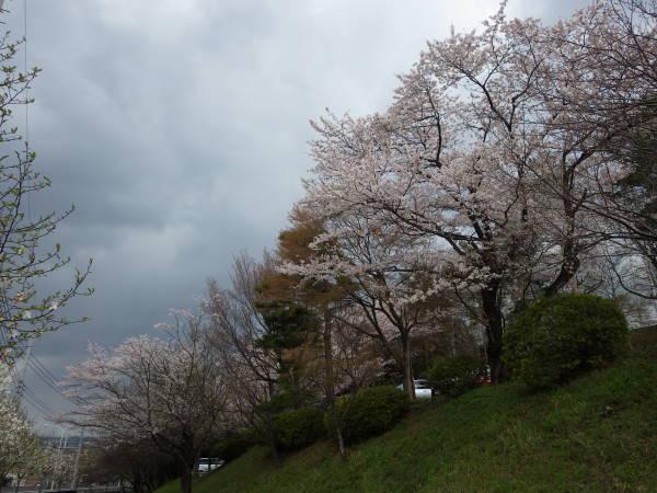 006 sakura.JPG